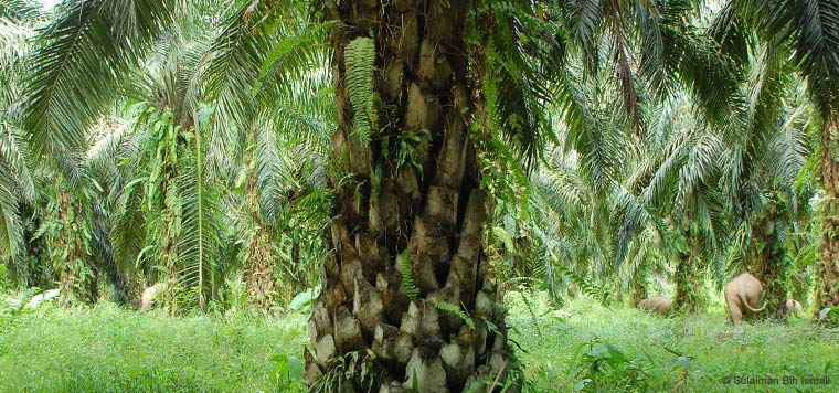 palm_oil_forests_in_indonesia
