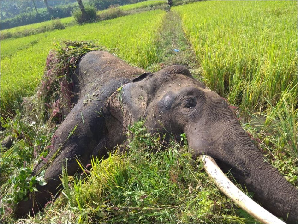 elephants are under threat across Asia