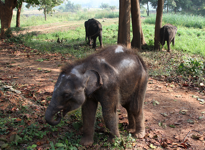 Asian elephants are under threat